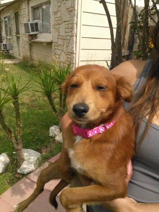 Mix-Bred SHEPHERD Female  Young  Puppy #A435479#  Animal Care Services (San Antonio) - click here to view larger pic