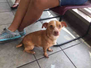 Mix-Bred CHIHUAHUA - SMOOTH COATED Male  Adult  Dog #A435492#  Animal Care Services (San Antonio) - click here to view larger pic