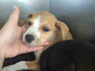 Mix-Bred POINTER Female  Young  Puppy #A435514#  Animal Care Services (San Antonio) - click here to view larger pic
