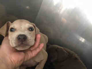 Mix-Bred LABRADOR RETRIEVER Male  Young  Puppy #A435520#  Animal Care Services (San Antonio) - click here to view larger pic