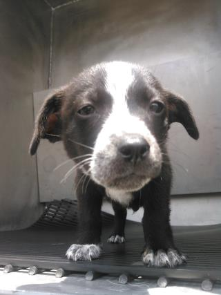 Mix-Bred LABRADOR RETRIEVER Male  Young  Puppy #A435523#  Animal Care Services (San Antonio) - click here to view larger pic