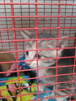 Mix-Bred DOMESTIC SHORTHAIR Female  Young  Kitten #A435532#  Animal Care Services (San Antonio) - click here to view larger pic