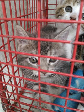 Mix-Bred DOMESTIC SHORTHAIR Female  Young  Kitten #A435533#  Animal Care Services (San Antonio) - click here to view larger pic
