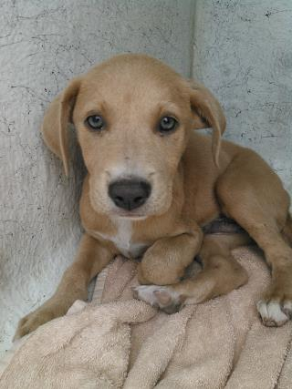 Mix-Bred AMERICAN STAFFORDSHIRE TERRIER Male  Young  Puppy #A435537#  Animal Care Services (San Antonio) - click here to view larger pic