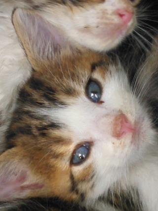 Mix-Bred DOMESTIC SHORTHAIR Female  Young  Kitten #A435543#  Animal Care Services (San Antonio) - click here to view larger pic