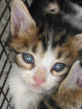 Mix-Bred DOMESTIC SHORTHAIR Male  Young  Kitten #A435544#  Animal Care Services (San Antonio) - click here to view larger pic