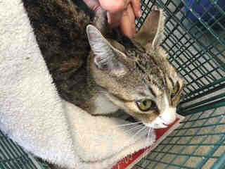Mix-Bred DOMESTIC SHORTHAIR Female  Adult  Cat #A435556#  Animal Care Services (San Antonio) - click here to view larger pic