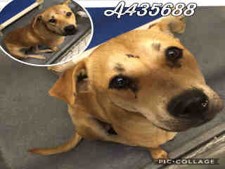 Mix-Bred LABRADOR RETRIEVER Female  Adult  Dog #A435688#  Animal Care Services (San Antonio) - click here to view larger pic