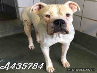 <u> Mix-Bred BOXER Female  Adult  Dog  (Secondary Breed: AMERICAN BULLDOG)</u>