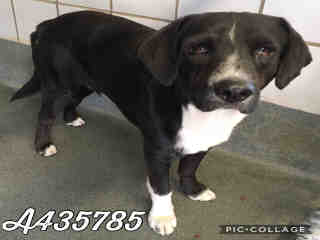 Mix-Bred LABRADOR RETRIEVER Male  Adult  Dog #A435785#  Animal Care Services (San Antonio) - click here to view larger pic