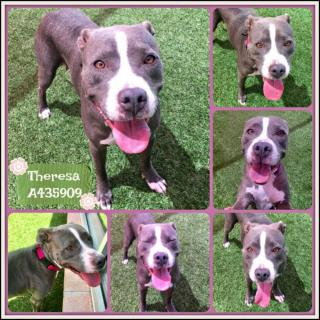 Mix-Bred PIT BULL TERRIER Female  Adult  Dog #A435909#  Animal Care Services (San Antonio) - click here to view larger pic