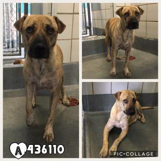 Mix-Bred PLOTT HOUND Female  Young  Puppy #A436110#  Animal Care Services (San Antonio) - click here to view larger pic