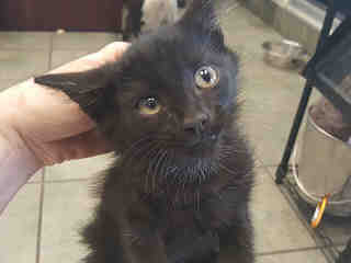 Mix-Bred DOMESTIC MEDIUMHAIR Male  Young  Kitten #A436422#  Animal Care Services (San Antonio) - click here to view larger pic