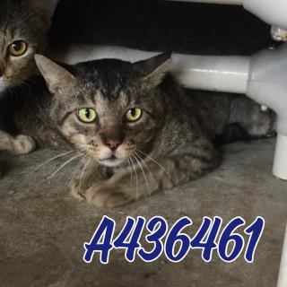 Mix-Bred DOMESTIC SHORTHAIR Male  Adult  Cat #A436461#  Animal Care Services (San Antonio) - click here to view larger pic
