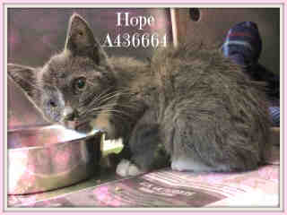 Mix-Bred DOMESTIC SHORTHAIR Female  Young  Kitten #A436664#  Animal Care Services (San Antonio) - click here to view larger pic