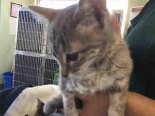 Mix-Bred DOMESTIC SHORTHAIR Female  Young  Kitten #A436779#  Animal Care Services (San Antonio) - click here to view larger pic