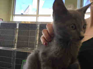 Mix-Bred DOMESTIC SHORTHAIR Male  Young  Kitten #A436780#  Animal Care Services (San Antonio) - click here to view larger pic