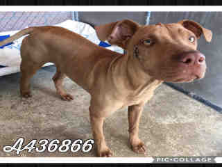 Mix-Bred STAFFORDSHIRE BULL TERRIER Female  Young  Puppy #A436866#  Animal Care Services (San Antonio) - click here to view larger pic