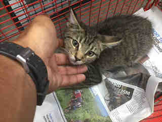 Mix-Bred DOMESTIC SHORTHAIR Female  Young  Kitten #A436870#  Animal Care Services (San Antonio) - click here to view larger pic