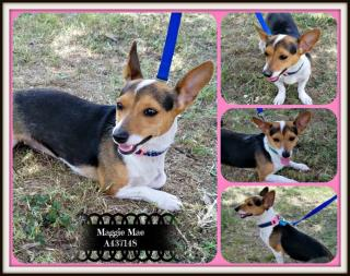 <u> Mix-Bred WELSH CORGI - PEMBROKE Female  Young  Puppy  (Secondary Breed: CHIHUAHUA - SMOOTH COATED)</u>