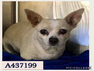 Mix-Bred CHIHUAHUA - SMOOTH COATED Female  Adult  Dog #A437199#  Animal Care Services (San Antonio) - click here to view larger pic