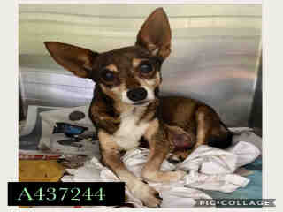 CHIHUAHUA - SMOOTH COATED Female  Adult  Dog #A437244#  Animal Care Services (San Antonio) - click here to view larger pic