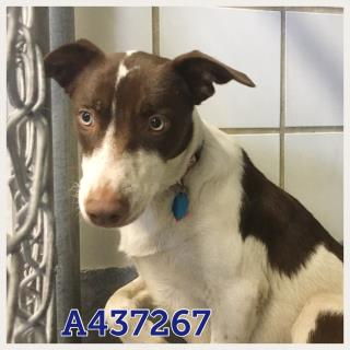 Mix-Bred COLLIE - SMOOTH Female  Young  Puppy #A437267#  Animal Care Services (San Antonio) - click here to view larger pic