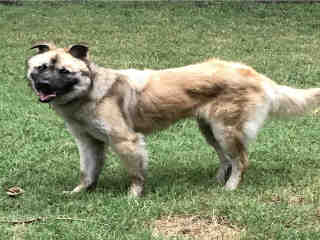 Mix-Bred SHEPHERD Male  Adult  Dog #A437276#  Animal Care Services (San Antonio) - click here to view larger pic