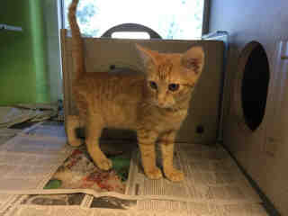 Mix-Bred DOMESTIC SHORTHAIR Male  Young  Kitten #A437288#  Animal Care Services (San Antonio) - click here to view larger pic