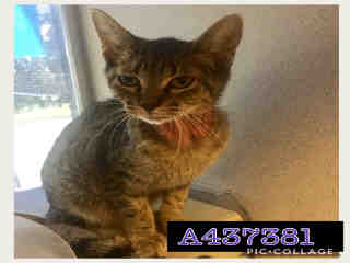 Mix-Bred DOMESTIC SHORTHAIR Female  Young  Kitten #A437381#  Animal Care Services (San Antonio) - click here to view larger pic