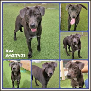 Mix-Bred BLUE LACY Male  Young  Puppy #A437471#  Animal Care Services (San Antonio) - click here to view larger pic