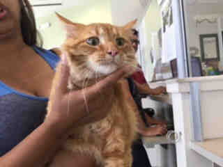 Mix-Bred DOMESTIC MEDIUMHAIR Female  Adult  Cat #A437481#  Animal Care Services (San Antonio) - click here to view larger pic