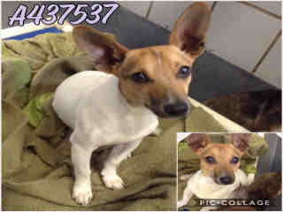 Mix-Bred JACK (PARSON) RUSSELL TERRIER Male  Adult  Dog #A437537#  Animal Care Services (San Antonio) - click here to view larger pic