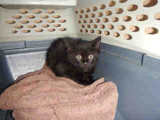 Mix-Bred DOMESTIC SHORTHAIR Male  Young  Kitten #A437766#  Animal Care Services (San Antonio) - click here to view larger pic