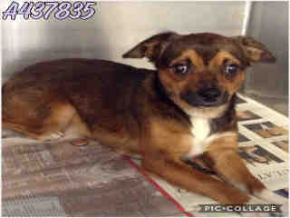 CHIHUAHUA - SMOOTH COATED Female  Adult  Dog #A437835#  Animal Care Services (San Antonio) - click here to view larger pic