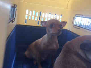 Mix-Bred CHIHUAHUA - SMOOTH COATED Female  Adult  Dog #A437841#  Animal Care Services (San Antonio) - click here to view larger pic