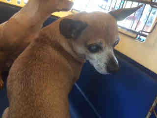 Mix-Bred CHIHUAHUA - SMOOTH COATED Male  Older  Dog #A437843#  Animal Care Services (San Antonio) - click here to view larger pic