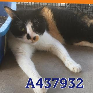 Mix-Bred DOMESTIC SHORTHAIR Female  Adult  Cat #A437932#  Animal Care Services (San Antonio) - click here to view larger pic