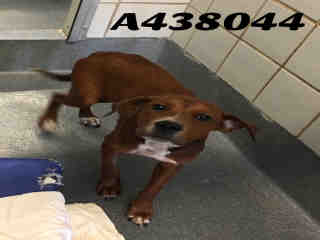 Mix-Bred REDBONE COONHOUND Male  Young  Puppy #A438044#  Animal Care Services (San Antonio) - click here to view larger pic