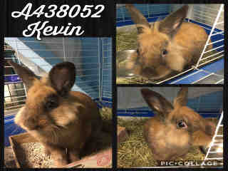 SHORTHAIRED RABBIT Male  Exotic #A438052#  Animal Care Services (San Antonio) - click here to view larger pic