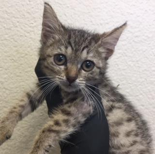 Mix-Bred DOMESTIC SHORTHAIR Female  Young  Kitten #A438072#  Animal Care Services (San Antonio) - click here to view larger pic