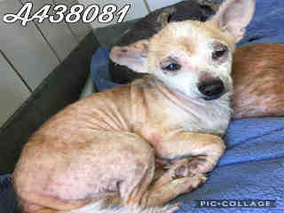 CHIHUAHUA - SMOOTH COATED Male  Adult  Dog #A438081#  Animal Care Services (San Antonio) - click here to view larger pic
