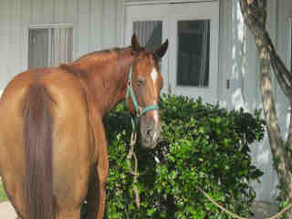 HORSE Female  Adult  Exotic #A438100#  Animal Care Services (San Antonio) - click here to view larger pic