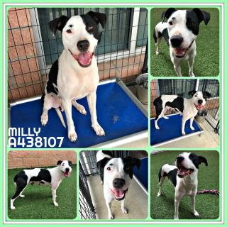 Mix-Bred AMERICAN STAFFORDSHIRE TERRIER Female  Adult  Dog #A438107#  Animal Care Services (San Antonio) - click here to view larger pic
