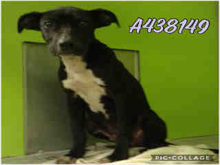 Mix-Bred AMERICAN STAFFORDSHIRE TERRIER Male  Young  Puppy #A438149#  Animal Care Services (San Antonio) - click here to view larger pic