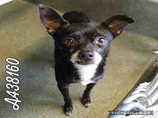 CHIHUAHUA - SMOOTH COATED Male  Adult  Dog #A438160#  Animal Care Services (San Antonio) - click here to view larger pic