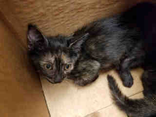 Mix-Bred DOMESTIC SHORTHAIR Female  Young  Kitten #A438188#  Animal Care Services (San Antonio) - click here to view larger pic