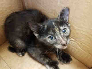 Mix-Bred DOMESTIC SHORTHAIR Female  Young  Kitten #A438189#  Animal Care Services (San Antonio) - click here to view larger pic