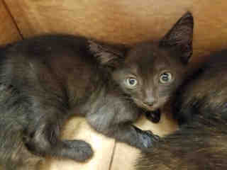 Mix-Bred DOMESTIC SHORTHAIR Male  Young  Kitten #A438191#  Animal Care Services (San Antonio) - click here to view larger pic