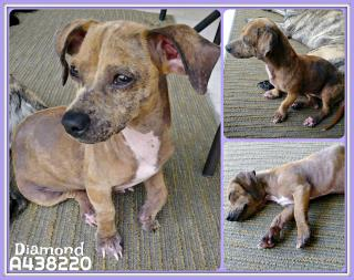 DACHSHUND Female  Adult  Dog #A438220#  Animal Care Services (San Antonio) - click here to view larger pic